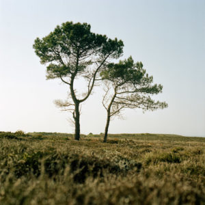 A couple of pine trees in the wild moors of the customs' trail in Erquy, Brittany.