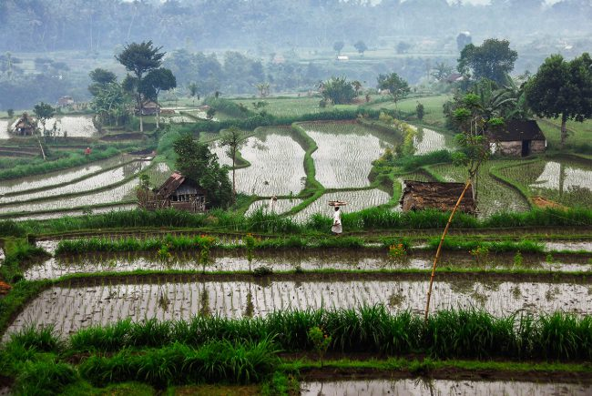 A woman walks among the flooded rice fields in Bali.