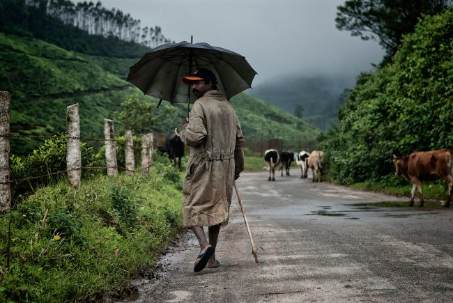 A farmer and his herd of cows, Munnar, South India