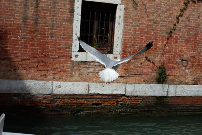 The seagull of the Venice fish market. La mouette du marché aux poissons de Venise.